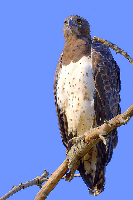 Martial Eagle (Polemaetus bellicosus) - a photo on Flickriver