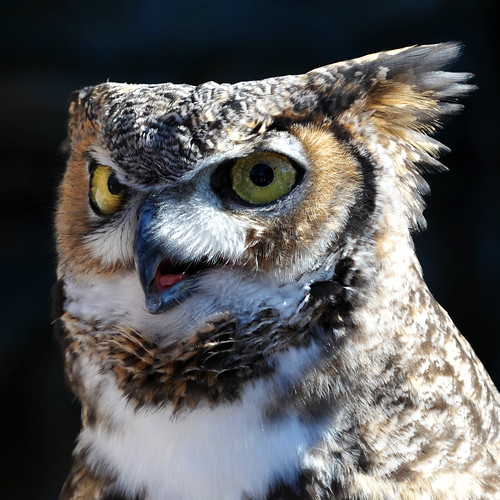 owl tongue