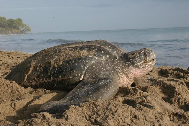 Leatherback Turtle - Dermochelys coriacea - Grande Riviere, Trinidad, Trinidad and Tobago - May 23, 2007