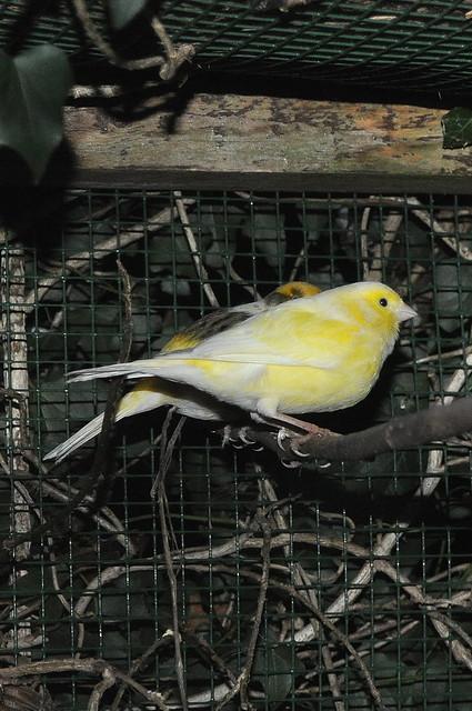 Header of canaris