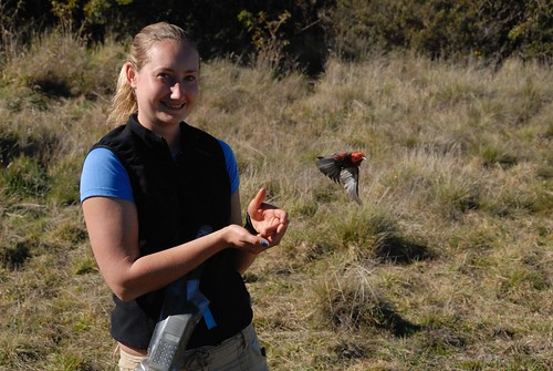 Laura Glenister releases a newly banded 'Apapane.