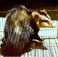 White-eared Opossum ..... (Didelphis albiventris) ....... COMADREJA OVERA ~ Original = (745 x 734)