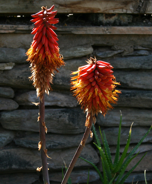 red hot poker in front of wall