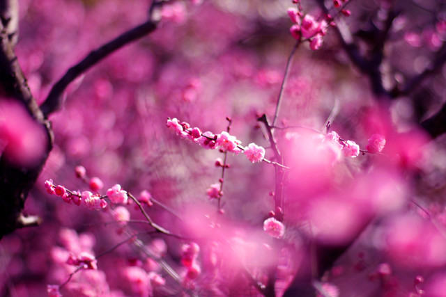 Plum blossoms in bokeh - Great Reasons to buy a 50mm Lens - Tips and Examples