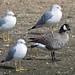 Cackling Goose (Branta hutchinsii) by fugle
