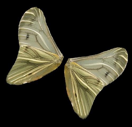 FREE picture - pieris wings