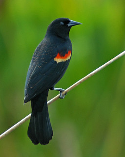 Red-winged Blackbird - 2