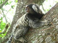 sloth(0.0), three toed sloth(0.0), monkey(0.0), primate(0.0), animal(1.0), mammal(1.0), fauna(1.0), marmoset(1.0), wildlife(1.0),