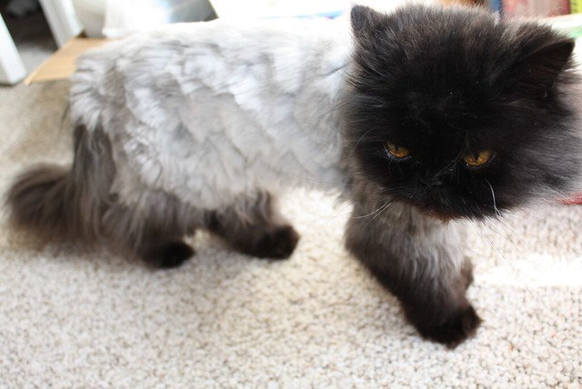 Perfect Student Of Life How To Give A Cat A Haircut