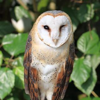 Barn Owl / Tyto alba / 面梟(メンフクロウ)