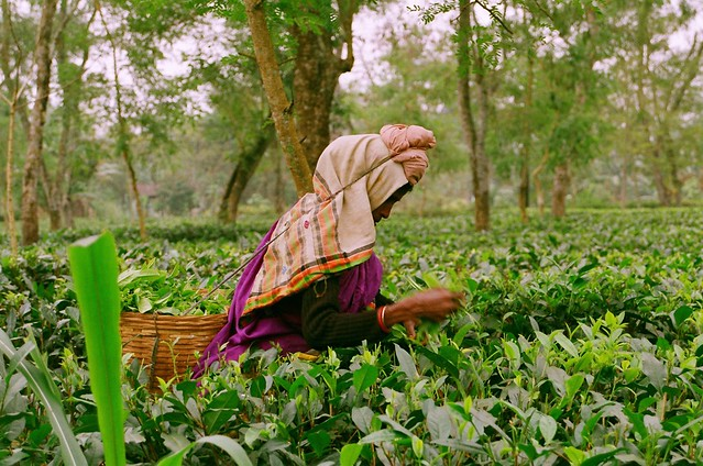Women harvesting tea in Assam, India