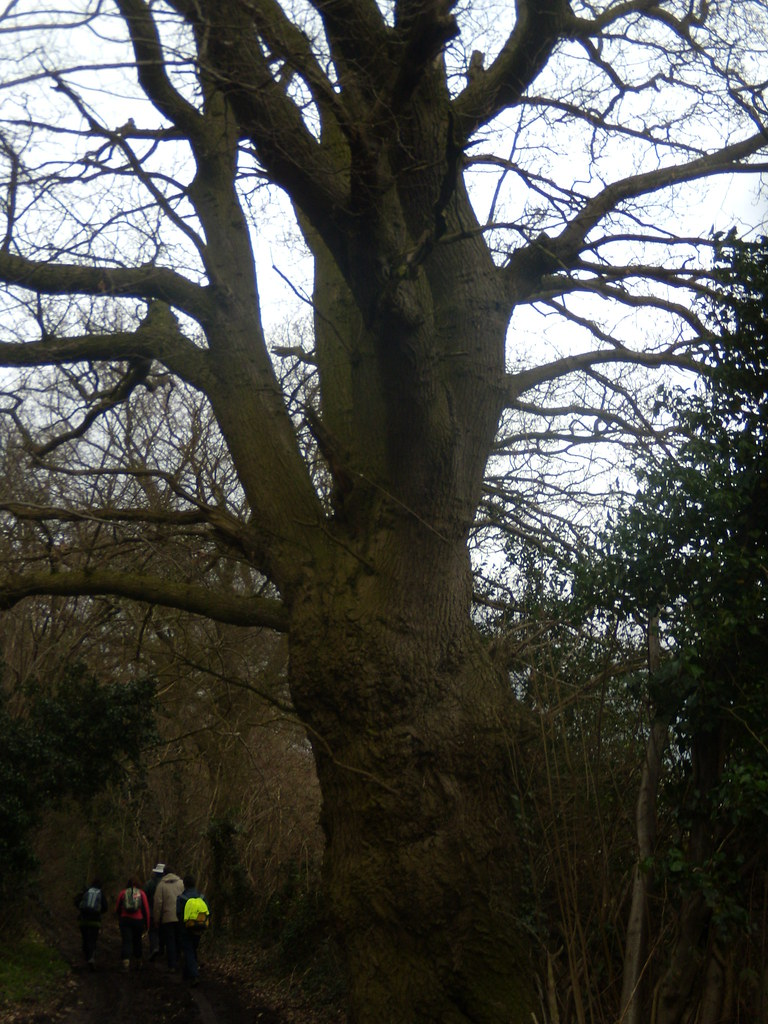 Big tree Bures to Sudbury
