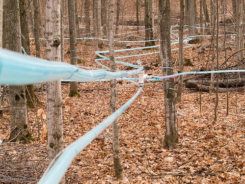 Maple Syrup Lines, Wyebridge, Ontario