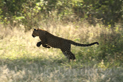 Leopards of Yala