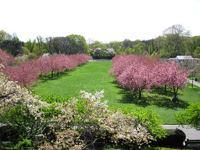 The view of Cherry Esplanade in first bloom from The Overlook. Photo by Rebecca Bullene.