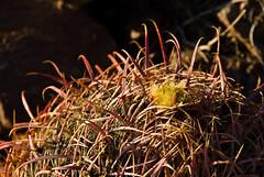 Compass Barrel Cactys (Ferocactus cylindraceus)
