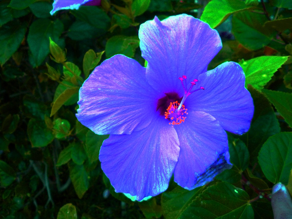 Purple Flower In Waikiki Hilton Hawaiian Village 2005 Kalia Road