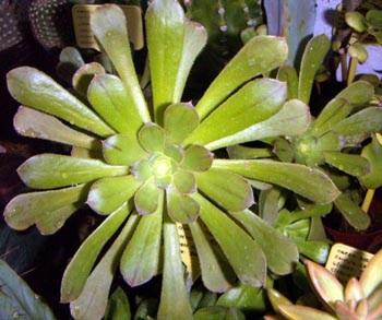 Aeonium holochrysum 4557242574_89b340555a_o