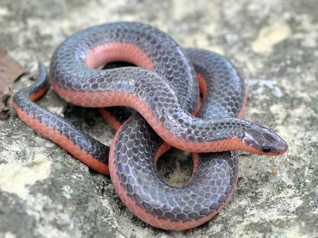 4574814199 b2e0d6f5b8 z jpgWestern Worm Snake