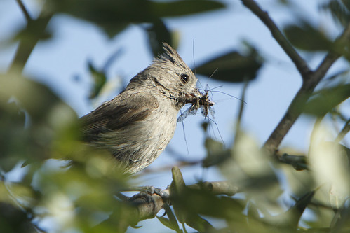 Oak Titmouse with food for chicks