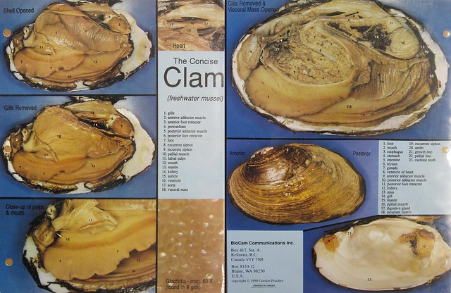 Lab 5  Clam Dissection 050610