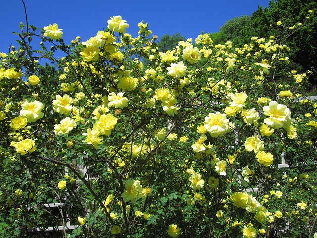Harison's Yellow rose is in full bloom in the Cranford Rose Garden today. Photo by Rebecca Bullene.