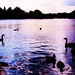 Swans on the Serpentine 1 by Stephskimo