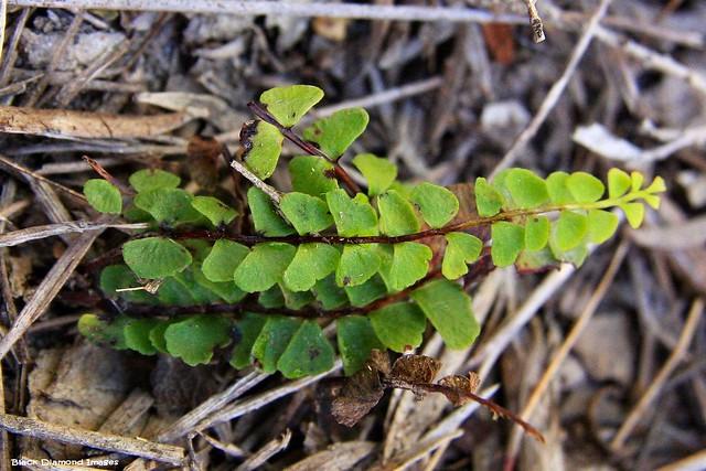 Lindsaea linearis - Screw Fern
