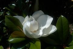shrub, flower, leaf, plant, flora, gardenia,