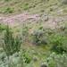Long Leafed Phlox on Hillside