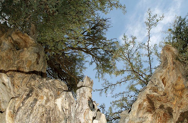 Camel Thorn Tree Flickr Photo Sharing