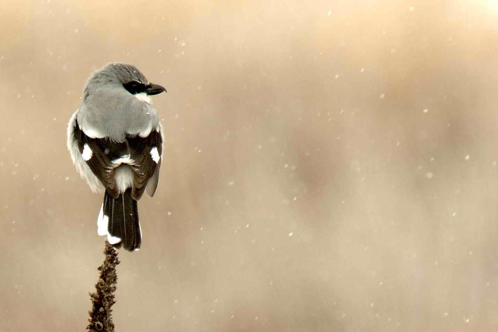Loggerhead Shrike in Snow