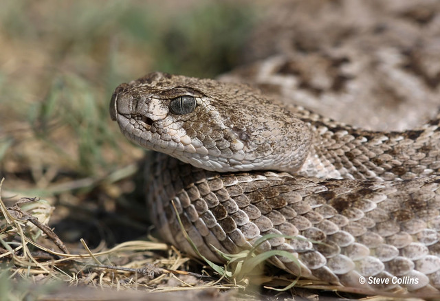 Eye of the pit-viper   Flickr - Photo Sharing!