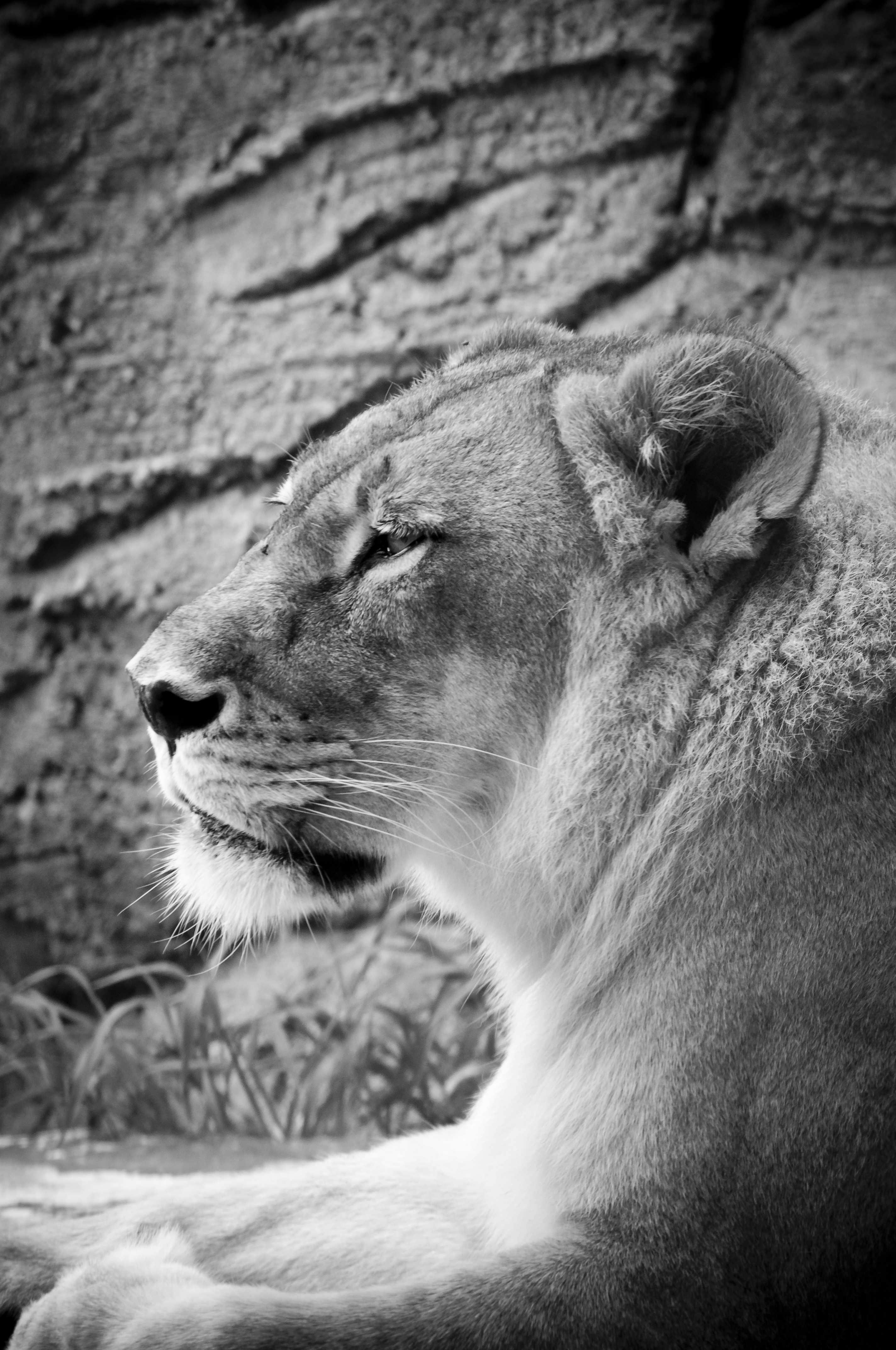 Lioness Face Black And White