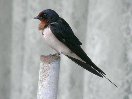 barn swallow (ツバメ) #3050