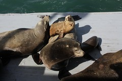 animal, seals, sea lion, marine mammal, zoo, fauna,