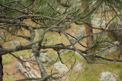 Red-breasted nuthatch hiding in the branches, Devils Tower National Monument
