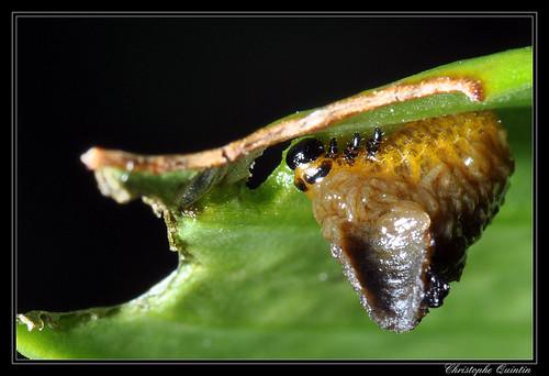 Larve de Lilioceris lilii (criocère du lys)