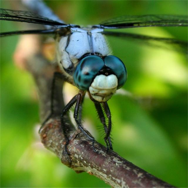 Dragonfly eyes - mac