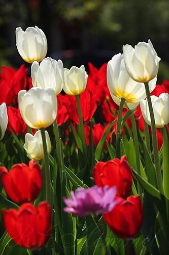 flowers light shadow colors up sunshine angle tulips bokeh song ohhh walkingonsunshine blueribbonwinner excellentshot floralfantasy ©allrightsreserved itsawonderfulworld viewonblack anawesomeshot colorphotoaward avpa flowersarebeautiful canon40d excellentsflowers thebestofday gununeniyisi mimamorflowers awesomeblossoms thelightpainterssociety artofimages poppyawards avpaplatinum niiceshot