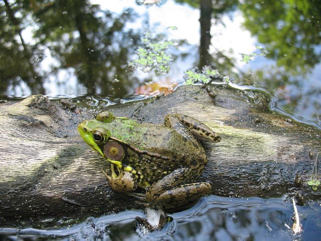 Frog in Lithopolis Ravine