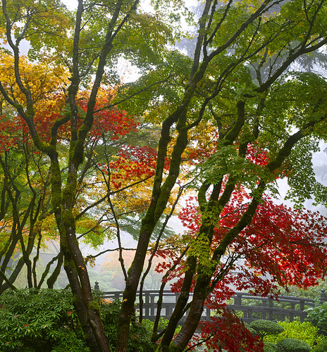 Portland Japanese Garden Maple Trees by the Bridge in Autumn