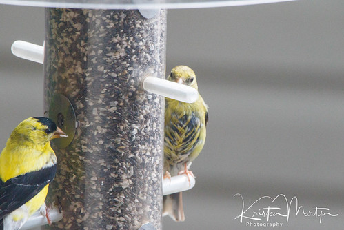 American Goldfinch (Spinus tristis)- Brood Patch