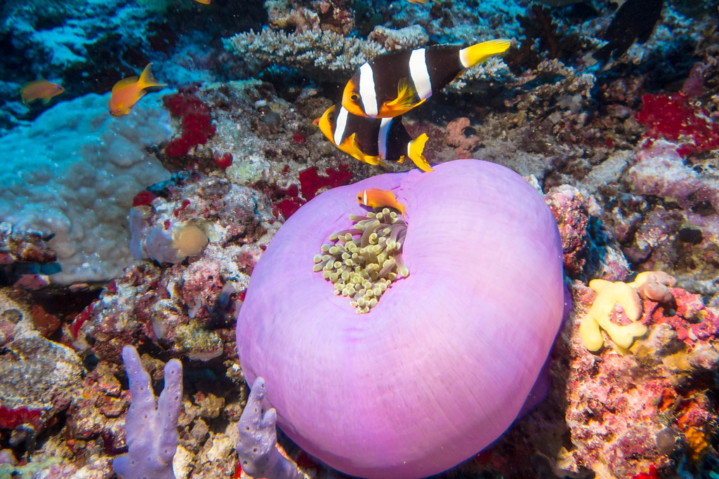 A pair of Yellowtail Clounfish and Maldive Anemonefish above Magneficient Sea Anemone