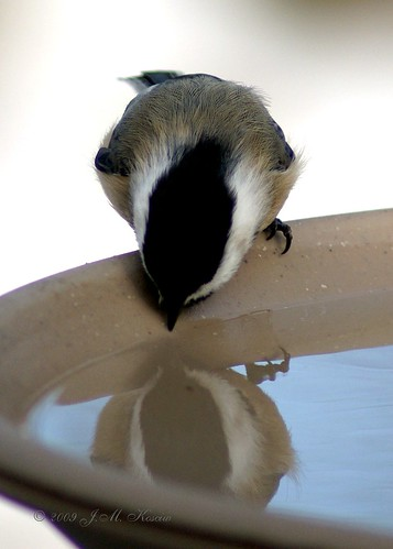 Black-capped Chickadee Drinking 42