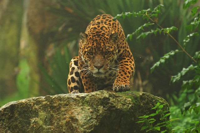 Jaguar Climbing Jaguar Climbing Over Rock