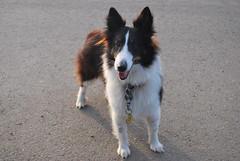 border collie(1.0), dog breed(1.0), animal(1.0), dog(1.0), pet(1.0), scotch collie(1.0), rough collie(1.0), collie(1.0), carnivoran(1.0), shetland sheepdog(1.0), icelandic sheepdog(1.0),