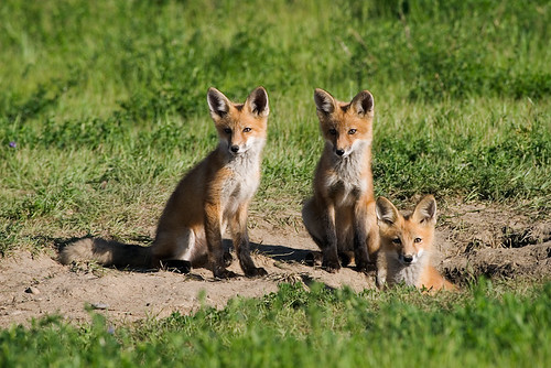 What does the fox actually say? – Scientific Scribbles