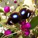 Small photo of Great Eggfly. Hypolimnas.Bolina Jacintha