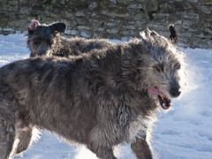animal sports(0.0), hound(0.0), berger picard(0.0), gray wolf(0.0), pumi(0.0), glen of imaal terrier(0.0), lurcher(0.0), cairn terrier(0.0), wolfdog(0.0), mudi(0.0), dog sports(1.0), dog breed(1.0), animal(1.0), dog(1.0), caucasian shepherd dog(1.0), scottish deerhound(1.0), pet(1.0), street dog(1.0), irish wolfhound(1.0), carnivoran(1.0),